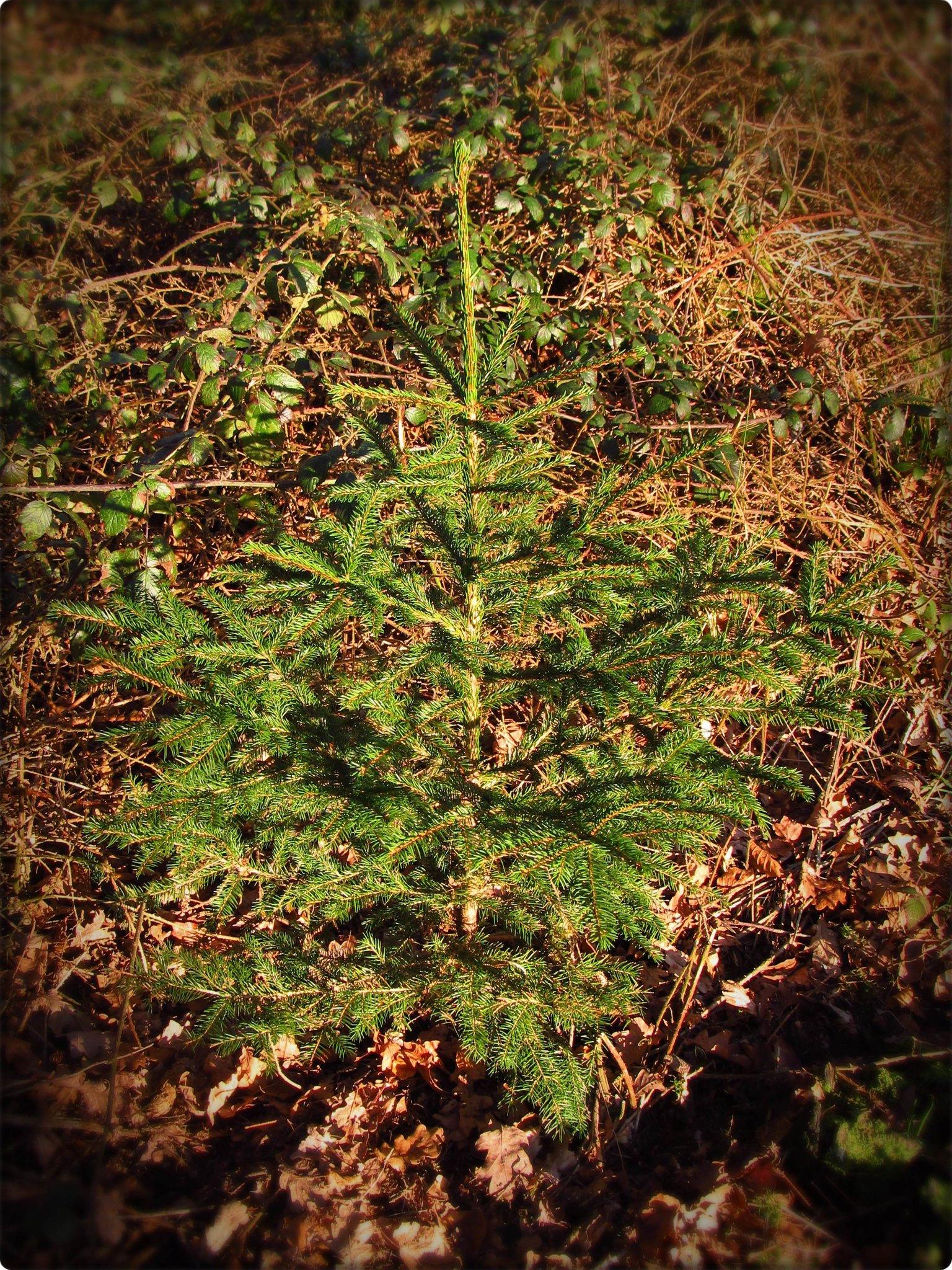 Andersen Der Tannenbaum.Der Tannenbaum Von Hans Christian Andersen Xanten