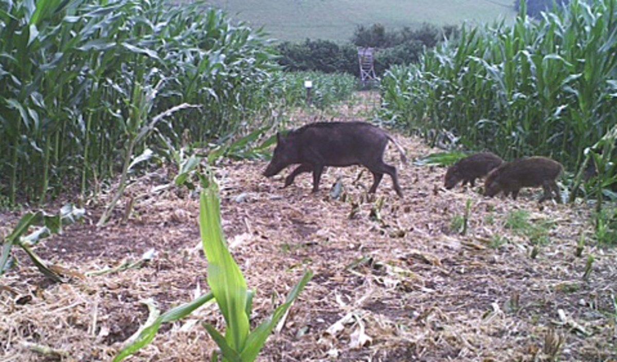 wildschweine werden zur plage - iserlohn