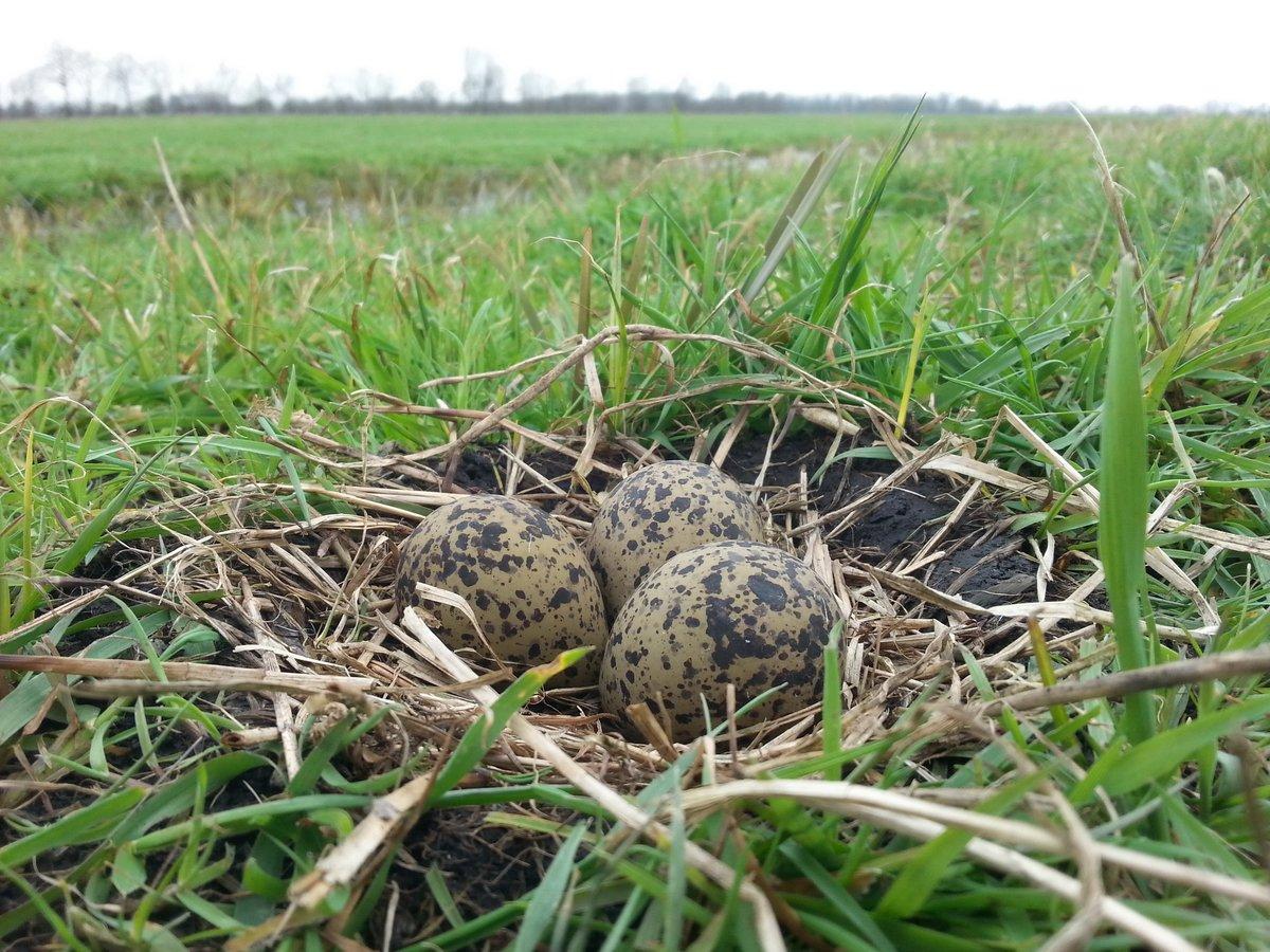 Am 19. März wurde ein Nest mit drei Eiern gefunden.