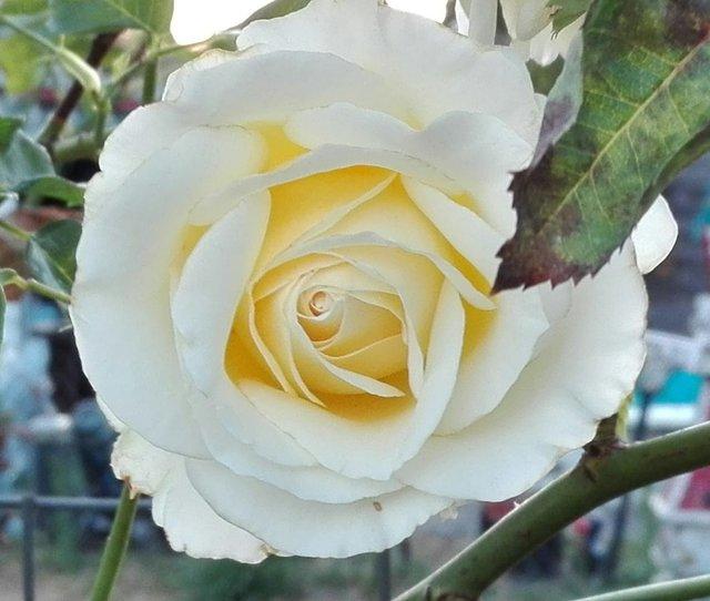 Weiße Rose Gemeinschaft
