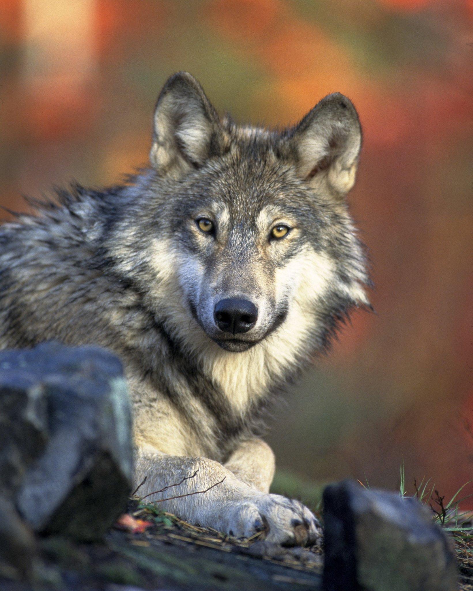 Wolfsnachweis in den Wäldern des RVR: Video zeigt die Wölfin Gloria