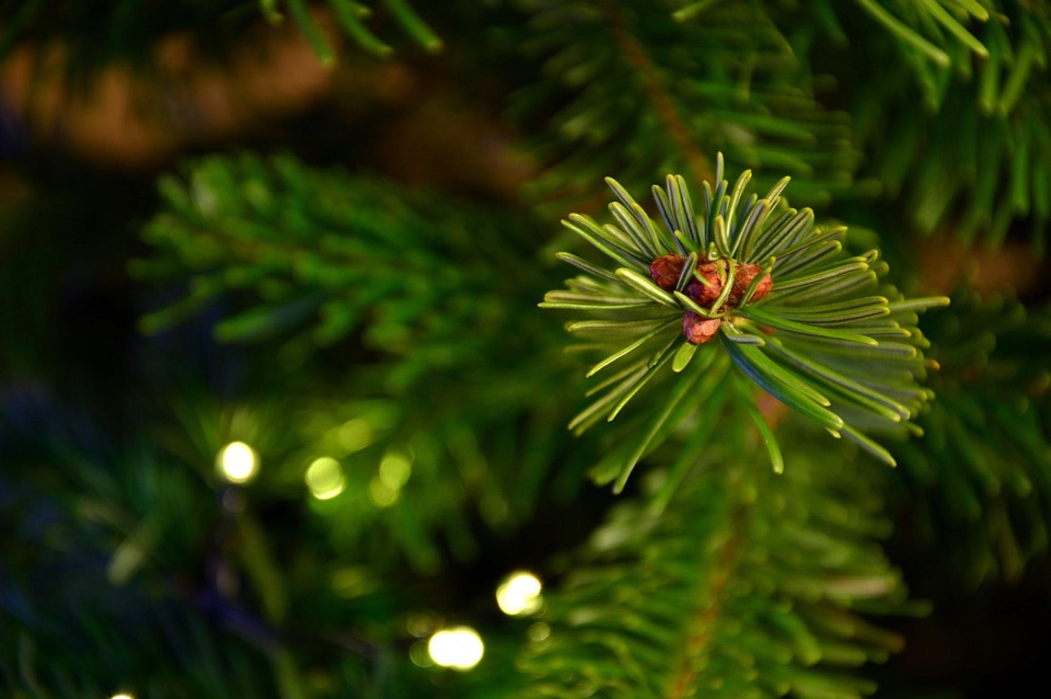 80 Tannenbäume gestohlen in der Vorweihnachtszeit - Marl - Lokalkompass.de