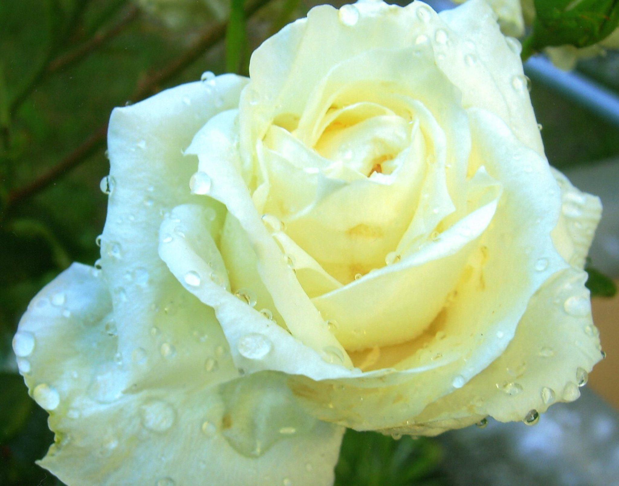 Weiße Rose - Symbol für Reinheit und Unschuld