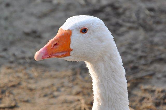 Bwc Großer Weißer Schwanz