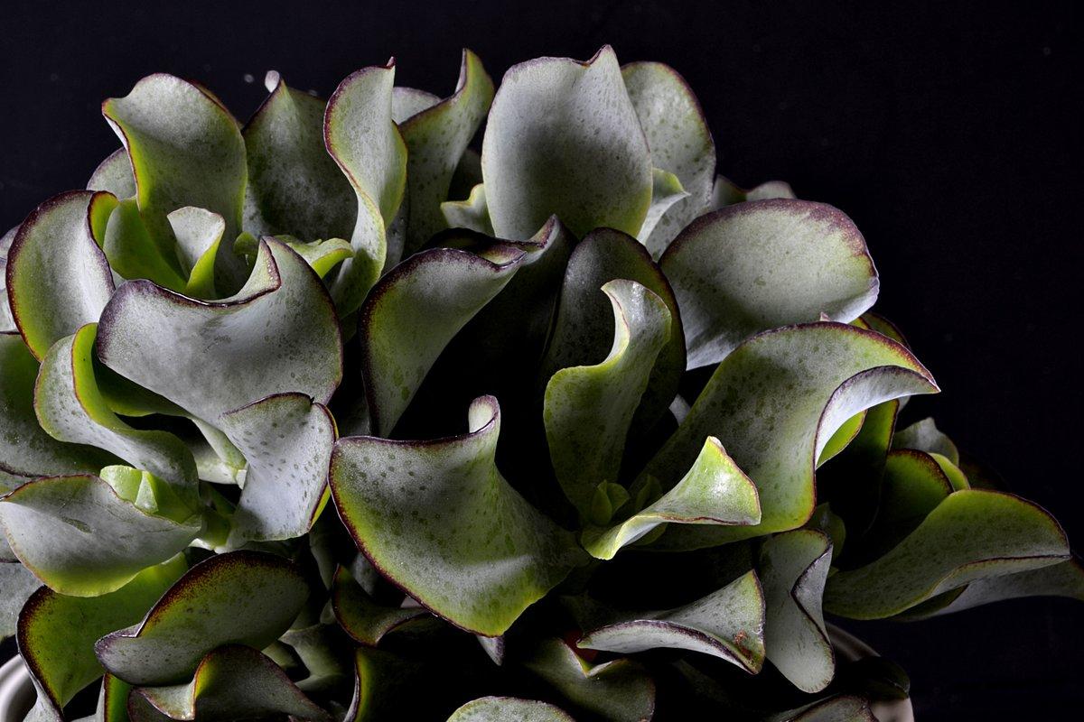 Crassula Undulatifolia Ihre Heimat Ist Südafrika