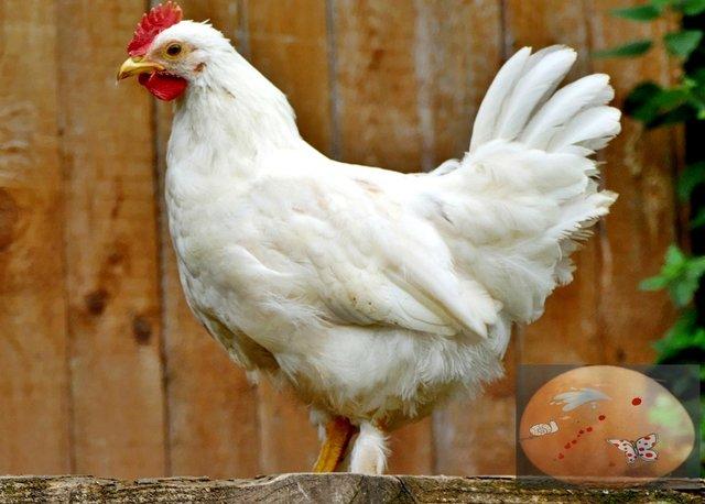 Was War Zuerst Huhn Oder Ei